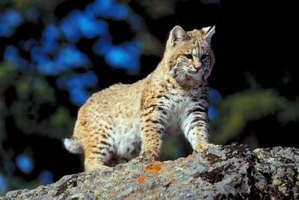 The bobcat is a superior hunter.