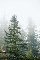 Many evergreen trees are susceptible to needle cast diseases.