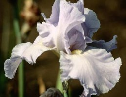 Irises grow best in full sun or part shade, depending on the region.