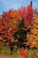 Maples thrive from Newfoundland to Florida.