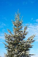 Many evergreen trees get too tall for their yards