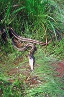 Garter snakes balance the ecosystem as predators and prey.
