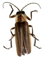 Lightning bugs, which show themselves by lighting up at night, aren't harmful.