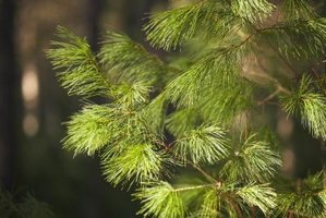Drought-stressed pine trees are susceptible to pine beetle infestations.