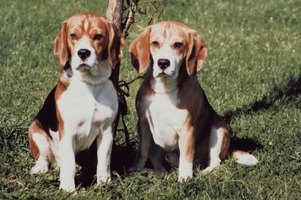 Allergies often cause dry skin on beagles.