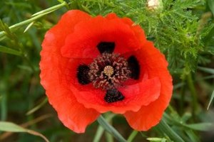 The Red Poppy is a popular garden plant.