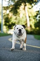 Learn about bulldogs - inside and out.