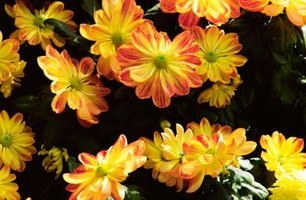 Mums are colorful and safe for children.