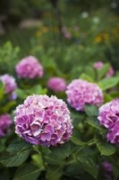 Hydrangea flower clusters form large spheres of color.