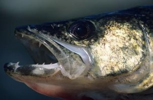In many water bodies, walleyes and sauger are present.