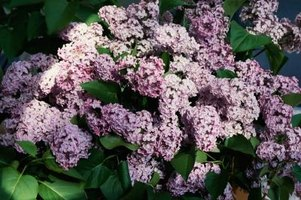 There are at least 1,800 different lilac cultivars.