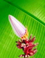 Banana flowers are beautiful and edible if prepared correctly.