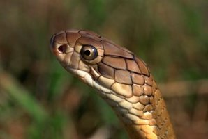 Snakes can enter homes and garages, causing panic.