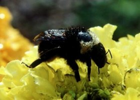 Carpenter bees can ruin a house one hole at a time.