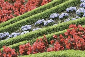 Dwarf boxwood forms a perfect edging for annual bedding plants.