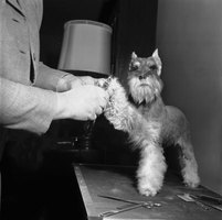 Let your miniature Schnauzer know that there's nothing to fear from the grooming table.