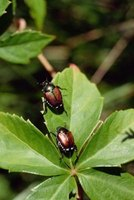 Many different varieties of beetles thrive in Alaska.