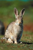 Although cute, hungry rabbits can cause major damage to gardens and landscaping.
