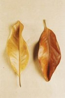 Magnolia leaves are very slow to decompose.