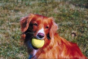 You can train your dog to play independently with an automatic ball throwing machine.