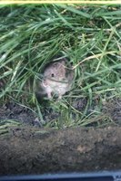 Cutting back overgrown grass can eliminate hiding places for voles and other rodents.