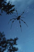 The golden silk orb-weaver is commonly found high in trees, hanging in large, intricate webs.