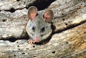 Pack rats build nests in walls and dark areas of buildings.