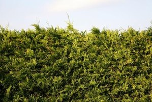 Evergreens are a popular landscape screening plant.