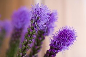Blazing star's brilliant purple flower spikes