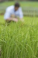Grass should remain healthy and green after it is fertilized.
