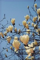 A white saucer magnolia blooms in very early spring before the leaves appear.