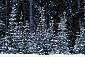 Fir trees are narrower than pine and spruce trees.