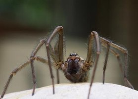 Spiders may find their way to your sink while scavenging for food.