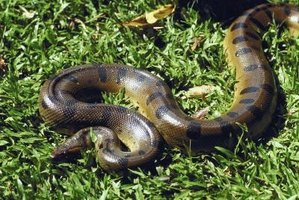 The green anaconda is the largest of all snake species.
