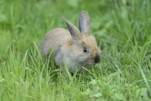 In the wild, rabbits eat grass to wear down their teeth.