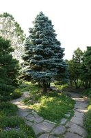 An adolescent blue spruce tree in a sunny garden setting.