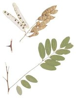 Compound leaves, thorns and hanging seedpods are features of the honey locust tree.