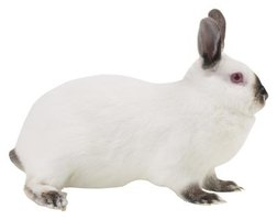 Californian rabbits are large with bright pink eyes.