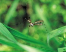 There are over 150 species of mosquitoes in the United States