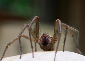 Some spider enthusiasts keep wolf spiders as pets.