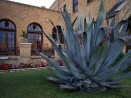 There are more than 200 variaties of agave.