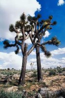 Joshua trees are found in the desert biome.