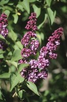 Common lilac is both fragrant and edible.