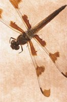 A dragonfly can eat its own weight in mosquitoes in 30 minutes.