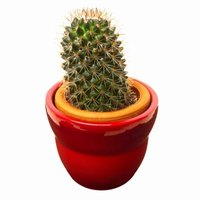 Cacti need superior permeability, which is achieved by high grit or sand soil composition.