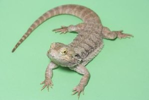 Although a hardy animal, the bearded dragon is vulnerable to mites and intestinal parasites.