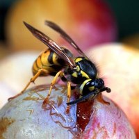 Yellow jackets are black and yellow or black and white and have a thin waist.