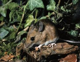 Mice are usually active at night.