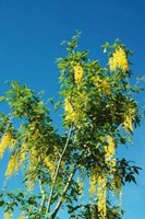 The golden chain tree has chainlike yellow flowers in spring.