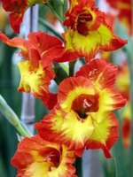 Gladiolus flowers grow from healthy corms.